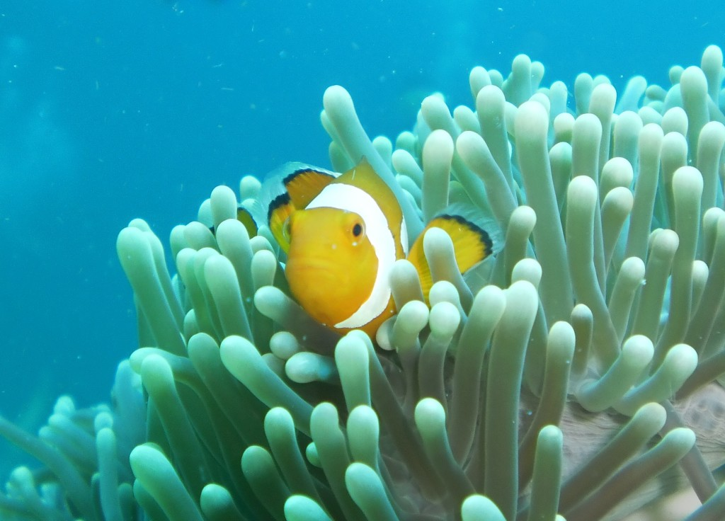 A clown fish in an anemone